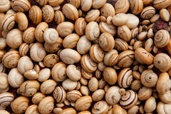 Group of tan snail shells Royalty Free Stock Images