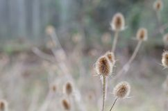 Teasels during Winter stock photos