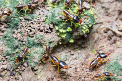 A group of termite migrating to other place Royalty Free Stock Image