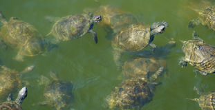 Group of terrapins swimming Royalty Free Stock Photo