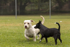 Group of terrier dog mixes play Royalty Free Stock Photography