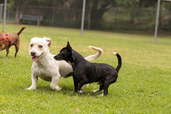 Group of terrier dog mixes play. In a dog park in summer Royalty Free Stock Photo