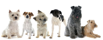 Group of terrier. In front of white background royalty free stock photos