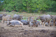 Group of Thai buffaloes Royalty Free Stock Images