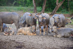 Group of Thai buffaloes Royalty Free Stock Photo