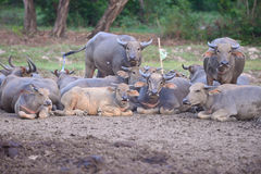 Group of Thai buffaloes Royalty Free Stock Photography