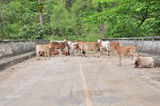 Group of thai cow on the road. Royalty Free Stock Images