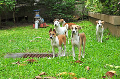 Group of thai dogs Stock Photography