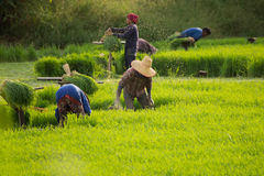 Group of Thai farmers work in rice field Royalty Free Stock Images