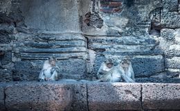 Group of Thai monkey sitting together stock photography