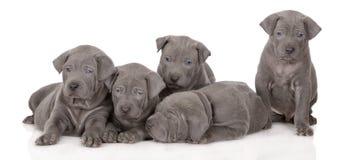 Group of thai ridgeback puppies royalty free stock image