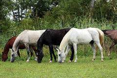 Group of thoroughbred arabian foals and mares grazing fresh gree Stock Photos