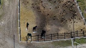 Group of thoroughbred horses walking and grazing in paddock near stable. Long evening afternoon shadow. Beautiful. Animals at farm or ranch. Aerial top view stock video