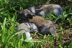 Three grey rabbit cubs. A group of three adorable baby rabbits sitting on the green grass Stock Photos
