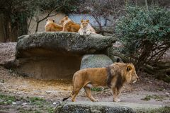 A group of three african lion female resting on a rock. The male lion walks with a lush mane, guardes the family next to the nupti. Al winter in the zoo basel royalty free stock image
