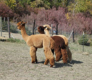 Group of three alpacas Royalty Free Stock Photography