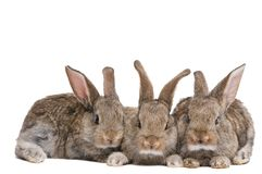 Group of three baby brown rabbits Stock Photography