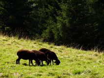A group of three black grazing sheep stock photography