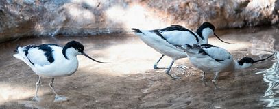 Avocet. Group of three black and white avocet in the pond Stock Images