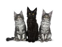 Group of three blue tabby / black solid Maine Coon cat kittens on white background