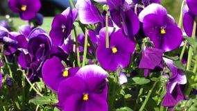 Group of three bright violet pansy (viola tricolor, Viola cornuta) stock video