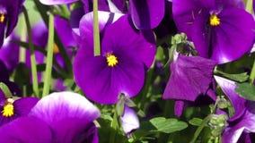 Group of three bright violet pansy (viola tricolor, Viola cornuta) stock video footage