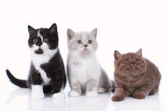 Three different british short hair kitten isolated Stock Photography