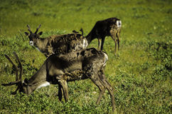 Group of three Caribou Stock Photography
