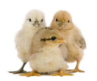 Group of three chicks standing Royalty Free Stock Image