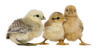 Group of three chicks standing Stock Photos
