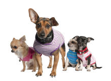 Group of three chihuahua and a bastard. In front of a white background Royalty Free Stock Image