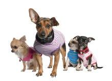 Group of three chihuahua and a bastard Royalty Free Stock Image