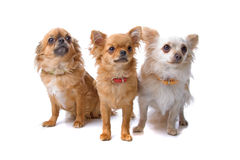 Group of three chihuahua dogs. Isolated on a white background. dogs looking forward Royalty Free Stock Image