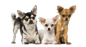 Group of three Chihuahuas Royalty Free Stock Images