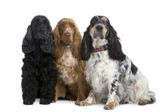 Group of three Cocker Spaniels. In front of a white background Royalty Free Stock Photo