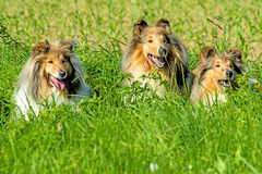 Group of three collie dogs Royalty Free Stock Photos