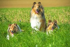 Group of three collie dogs Royalty Free Stock Image