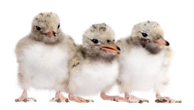 Group of three Common Tern chick in a row - Sterna Stock Photo