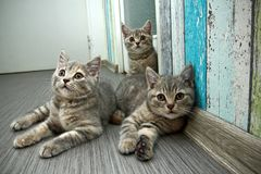 Group of three cute grey British kittens. A group of three cute grey British kittens is lying on the floor and looking curiously Stock Photos