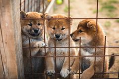 Group of cute red japanese shiba inu puppies sitting in the aviary and trying to escape stock images