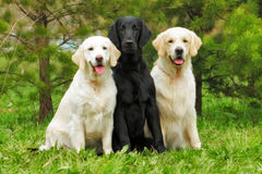 group of three dogs - flat-coated Retriever and two Golden Retriever sitting royalty free stock photos