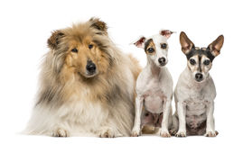 Group of three dogs, isolated on white. Group of three dogs; Scotch Collie, 3 years old, and two Jack Russell Terriers, 9 years old and 7 years old, isolated on Royalty Free Stock Image