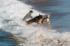 Group of Three Dogs Playing in Waves at Dog Beach in San Diego Royalty Free Stock Image