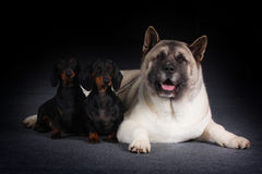 Group of three dogs stock image