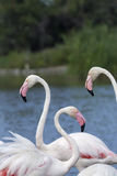 Group of three flamingos. Vertically. Stock Photography
