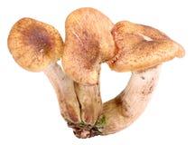 Group of three fresh mushroom Stock Photos