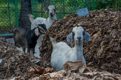 Group of three goats searching for food around. Surrounded by fence Stock Photography