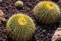 Group of Three Golden Barrel Cactus. A group of three Golden Barrel cactus plants in a rock garden royalty free stock photography