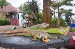 Group of three green Iguanas resting on tree trunk Royalty Free Stock Photo