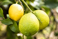 Group of three green lemons from Sicily on the tree. Group of three green and yellow  lemons from Sicily on the tree Royalty Free Stock Image